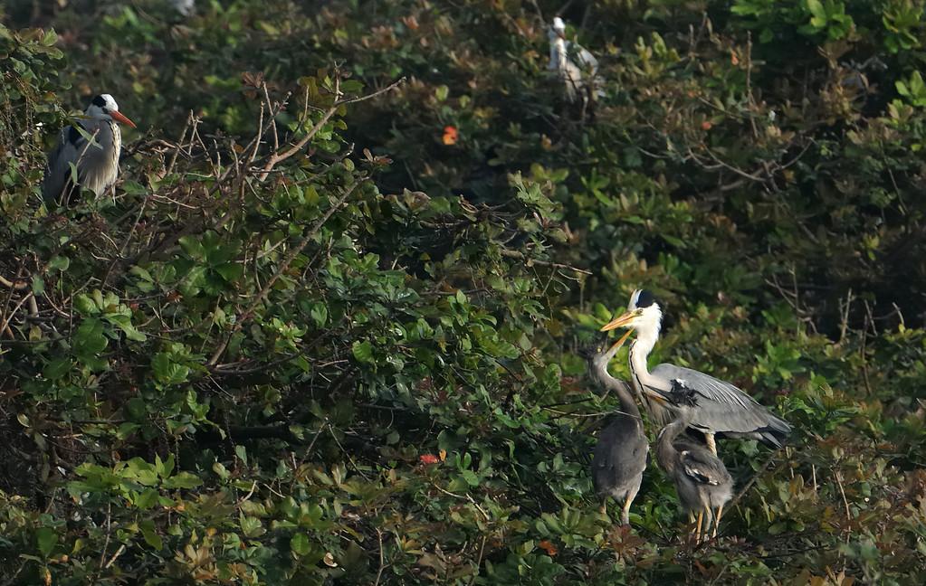 Grey Heron Family